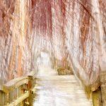 Birch Boardwalk